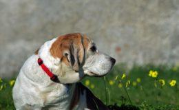 En ældre hund kigger væk